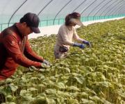 [고침] 지방(중소기업·농가 돕는 충북 생산적 일손봉사…)